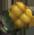 Round Corn
