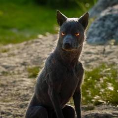A demonic dog.