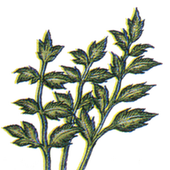 Echo Herbs.