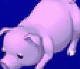 TAY PSP Yang Pig Portrait