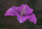 LRFFXIII Purple Flower