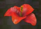 LRFFXIII Crimson Flower