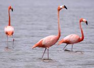 Flamingos09