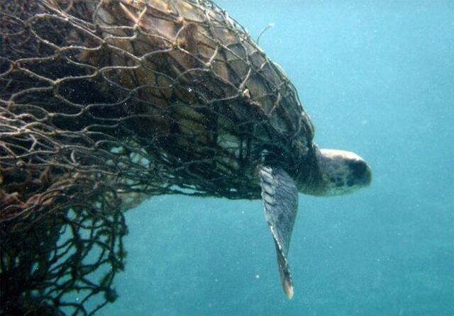 File:Ghost-net-turtle-caught-water-01 jpg 653x0 q80 crop-smart.jpg