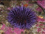 Sea urchin purple