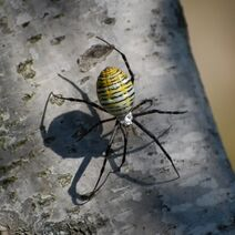 1337401 yellow garden spider