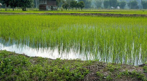File:Centauri Princess Rice Fields.jpg