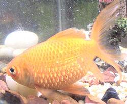 Fish Dropsy (Side)