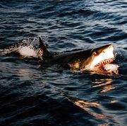 605px-Surfacing great white shark
