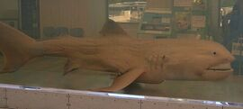 Megamouth shark japan