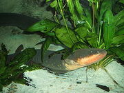 240px-Electric-eel