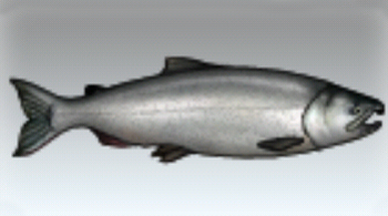 File:Coho Salmon.jpg