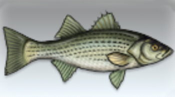 File:Striped Bass.jpg