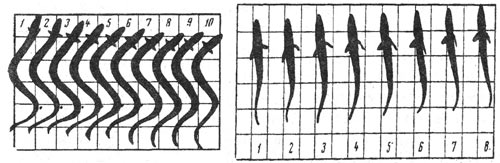 Схема руху тіла риб при плаванні