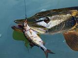 Рибалка на щуку, відмінний відпочинок і цікаве проведення часу