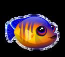 Coral Beauty Angelfish