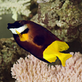 Fiji Foxface.png