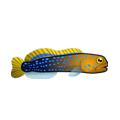 File:Bluedot Jawfish (1).png