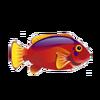 Flame Hawkfish (1)