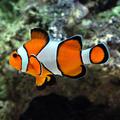 Percula Clownfish.png