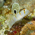 Prawn Goby.png