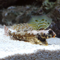 Scooter Blenny.png