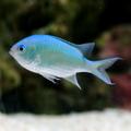 Blue Green Chromis.png