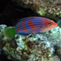 Six Line Wrasse.png