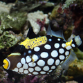 Clown Triggerfish.png