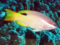 Hawaiian Hogfish.png