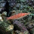 Longnose Hawkfish.png