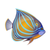 Annularis Angelfish (1)