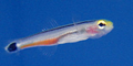 Mini Dart Goby.png