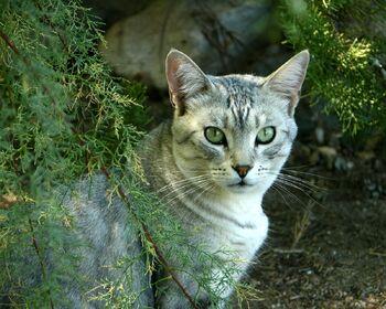 EVERGREEN Tabby Cat