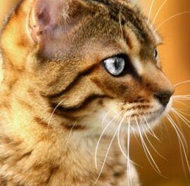Bengal Cat (Leafheart FlameClan)