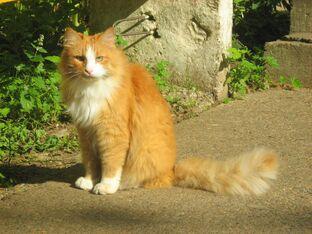 Ginger-cat-3