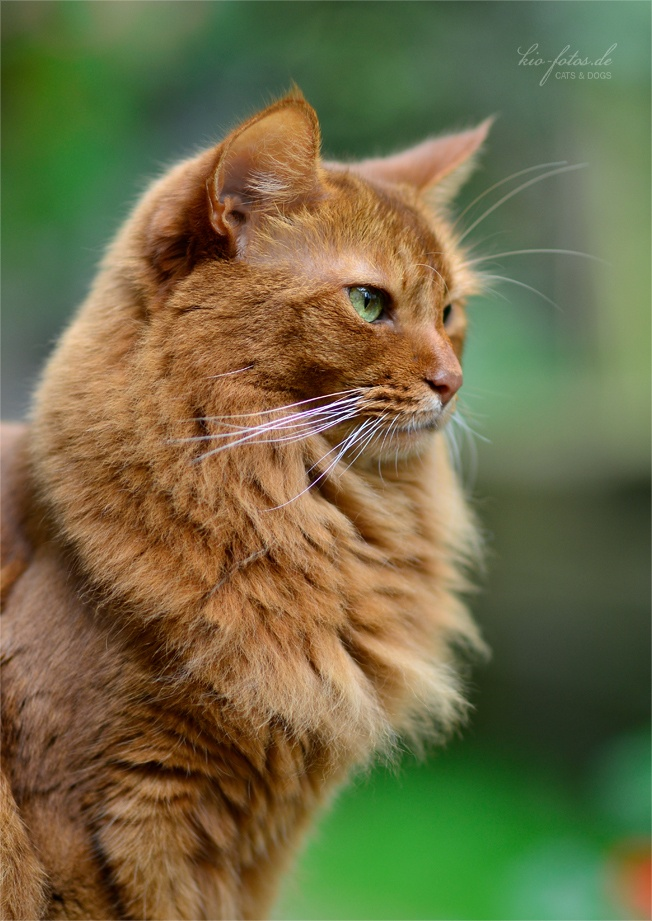 Fluffy Orange Cat With Green Eyes