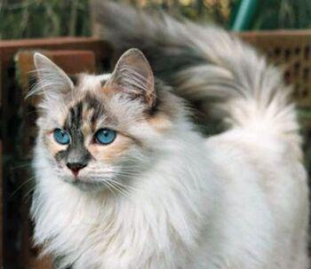 Siberian-cat6