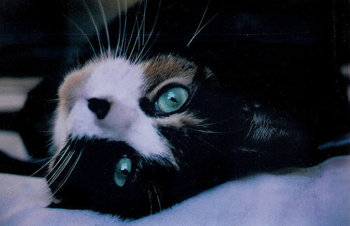 Black-blue-blue-eyes-cat-Favim.com-488243
