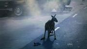 Kangaroo wat