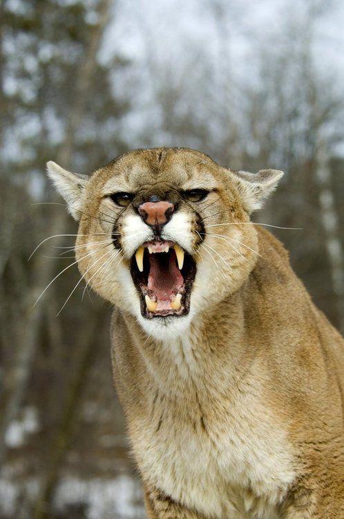Mountain lion | Flicka The Movie Wiki | FANDOM powered by Wikia