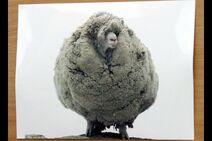 Gary, New Zealand's most famous sheep