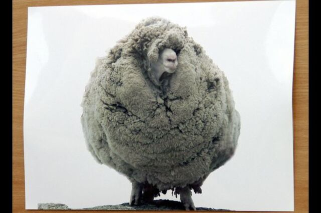 File:Gary, New Zealand's most famous sheep .jpg