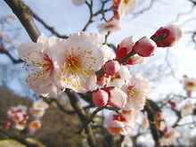 Prunus mume flower