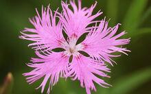 Dianthus superbus var longicalycinus
