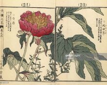 Handcoloured woodblock print by Kono Bairei from One Thousand Varieties of Flowers, Kyoto 1889.