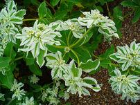 1280px-Euphorbia marginata 002