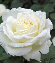 Royal princess flower