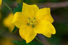 Kerria japonica flower