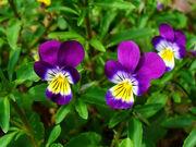 Viola tricolor 002